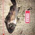 川口八代さんのソイの釣果写真