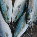 アカギさんの青森県三沢市での釣果写真