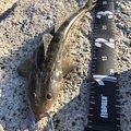 nobfishさんのコチの釣果写真
