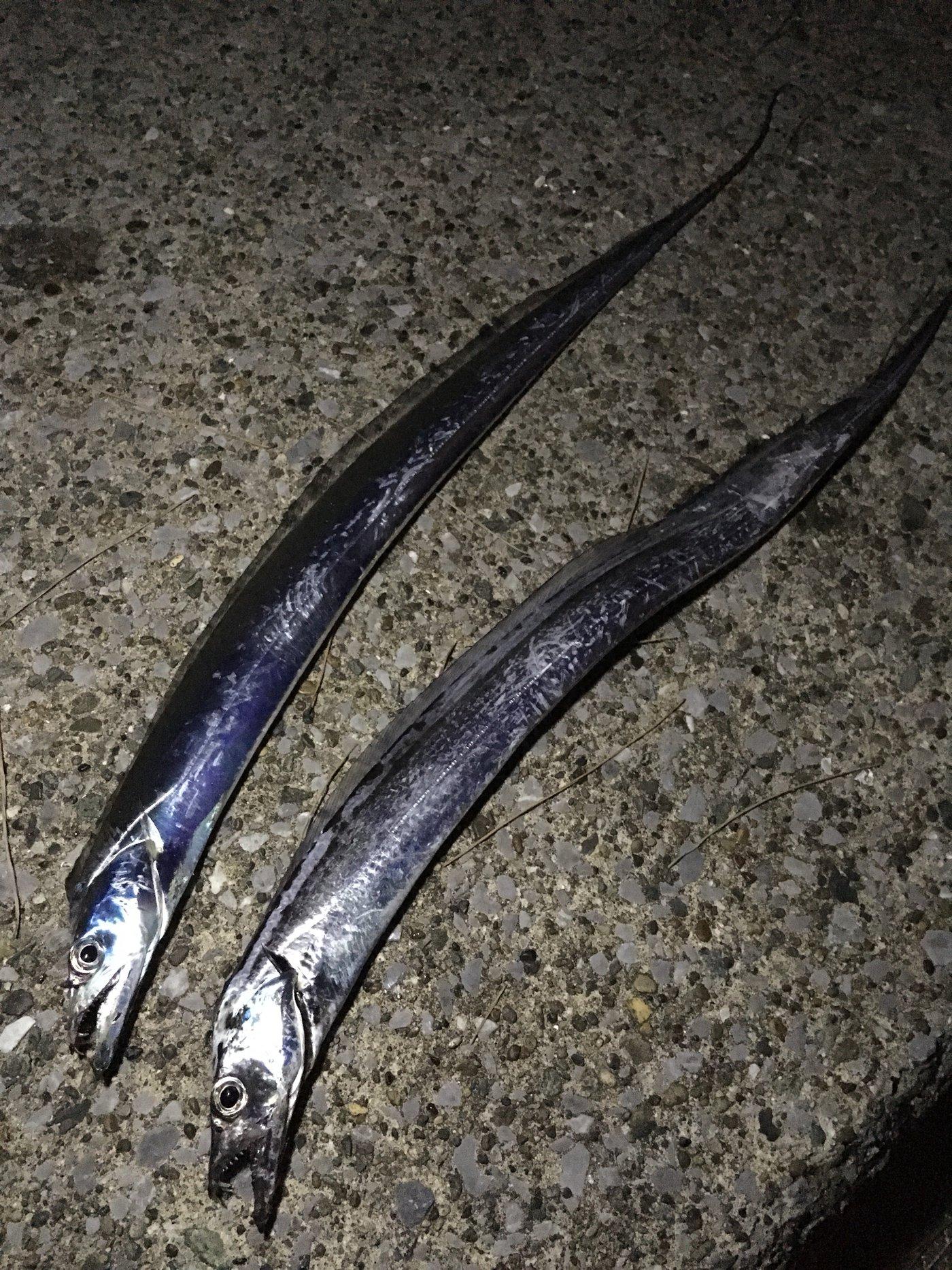 大和魂.さんの投稿画像,写っている魚はタチウオ