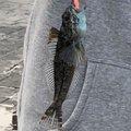 スズロウさんのアナハゼの釣果写真