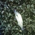 こうさんの三重県での釣果写真
