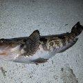 サミさんのアイナメの釣果写真