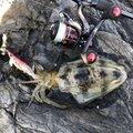 トミーさんの山口県下松市でのアオリイカの釣果写真