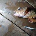 tさんのアカカサゴの釣果写真