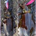 あちゅみさんの富山県射水市でのアオリイカの釣果写真