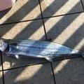 釣りキチ3㎡さんの富山県射水市でのサワラの釣果写真