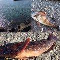 akkiさんの宮城県での釣果写真