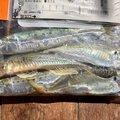 イソメマンさんの茨城県での釣果写真