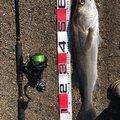 健斗さんの鹿児島県薩摩川内市でのスズキの釣果写真