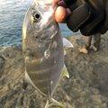 でか美さんの三重県での釣果写真