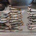 裕ぽこさんのアカカサゴの釣果写真