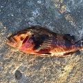 アブラーメンさんの宮城県での釣果写真