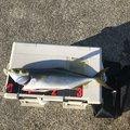 超ゴジータさんの兵庫県たつの市での釣果写真