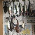 下北猿さんの青森県での釣果写真
