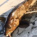 まさみさんの宮城県での釣果写真