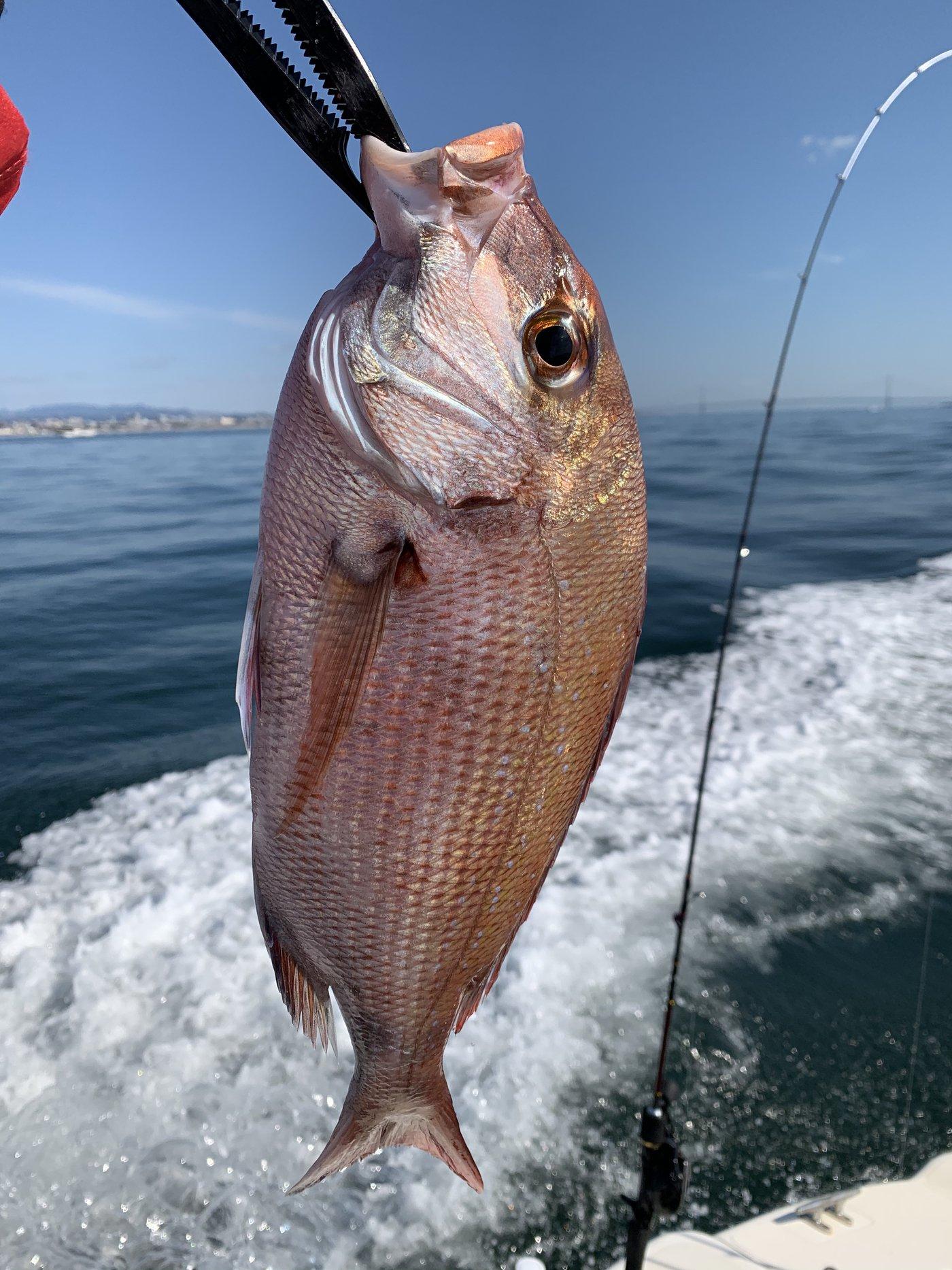 はなぶささんの投稿画像,写っている魚はマダイ