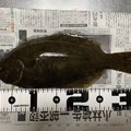 ハルナリさんの新潟県でのヒラメの釣果写真
