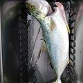 海兎さんの兵庫県での釣果写真