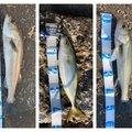 ツリッチさんの千葉県習志野市でのスズキの釣果写真