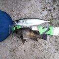minminさんの青森県での釣果写真