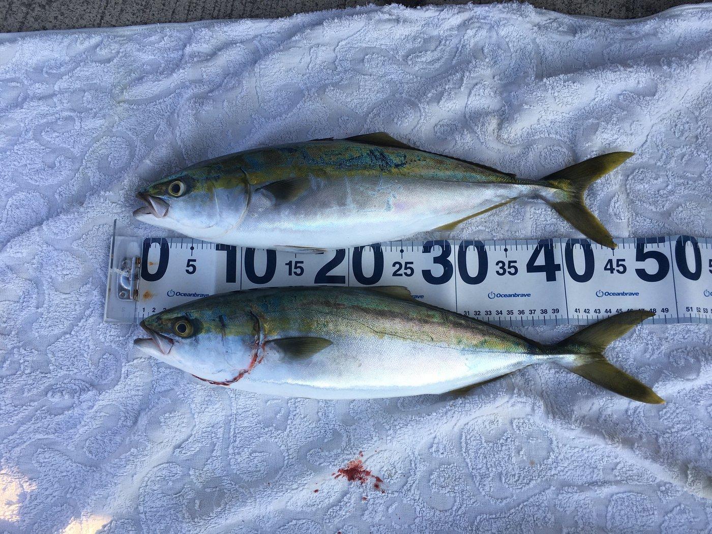 サカやんさんの投稿画像,写っている魚はブリ,エソ