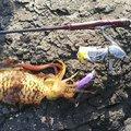 MasaKawaさんの福岡県でのアオリイカの釣果写真