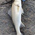 たっちゃんさんの愛知県での釣果写真