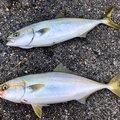 DJ Gucchiさんの愛知県での釣果写真