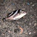 ちくわさんの三重県での釣果写真