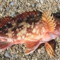みきてぃさんのアカカサゴの釣果写真