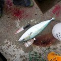 佐藤真さんの青森県での釣果写真