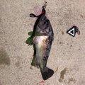 てちこさんの青森県八戸市でのクロソイの釣果写真