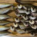 そーさんの青森県での釣果写真
