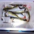 ツリダツリオさんの福岡県での釣果写真