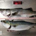 スライム(海)さんの兵庫県での釣果写真