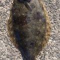 かわぽんさんの大阪府でのヒラメの釣果写真
