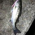 シャケさんの三重県での釣果写真