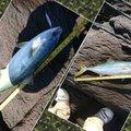 インチキレフティーさんの神奈川県でのカサゴの釣果写真