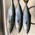 カンパチ夫さんの青森県三沢市での釣果写真
