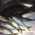 かわぽんさんの大阪府泉佐野市でのアジの釣果写真