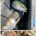 ポニーさんの千葉県千葉市でのブリの釣果写真