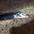 kiiysd13さんの和歌山県和歌山市での釣果写真