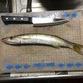 あきひろさんの長崎県南島原市での釣果写真