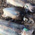 ゆうきまんさんの山口県熊毛郡での釣果写真
