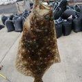 X_SIROKUMA_Xさんの宮崎県でのヒラメの釣果写真