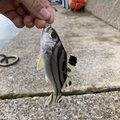 とりちゃんさんのトラギスの釣果写真