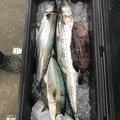 釣遊会さんの徳島県徳島市での釣果写真