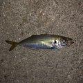 釣り初心者さんの兵庫県姫路市での釣果写真