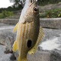 いと*こーさんの沖縄県石垣市での釣果写真